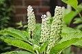 Indische Kermesbeere (Phytolacca acinosa) - Flickr - blumenbiene (1).jpg