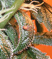 Insect Stuck In Trichomes.jpg