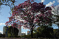 Ipê-roxo em Brasília 11.jpg