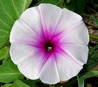 Ipomoea aquatica - A close up of the flower