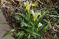 Iris bucharica habit1.jpg