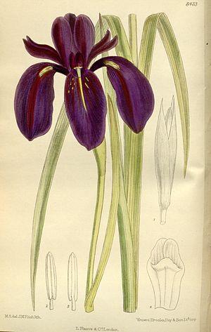 Iris chrysographes - The Black IRIS