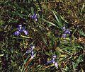 Iris douglasiana 2.jpg