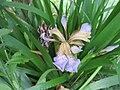 Iris foetidissima-flower-7.jpg