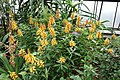 Isoplexis canariensis - Longwood Gardens - DSC01268.JPG