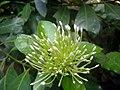 Ixora flower bud white.JPG