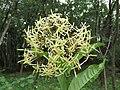 Ixora malabarica flowers at Peravoor - 2017 (12).jpg