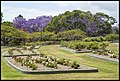 Jacaranda and Rose gardens New Farm Park-3 (22516575220).jpg