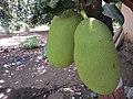 Jack Fruits, Saronda, Sanjan , Valsad - panoramio.jpg