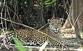 Jaguar (Panthera onca) female resting in the shade ... (48416002946).jpg