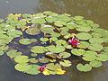 Japanese Garden. Flowers. - Margaret Island, Budapest, Hungary.JPG