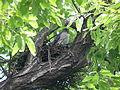 Japanese sparrowhawk FemInTheNest01.JPG