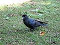 Japanischer Rabenvogel.jpg