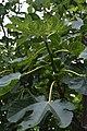 Jardim Botânico da Madeira DSC 0333 (14513247710).jpg