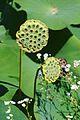 Jardin des Martels - Lotus sacré - 2016-08-07 - 07.jpg