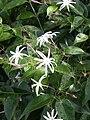 Jasminum nitidum1SCZO.jpg