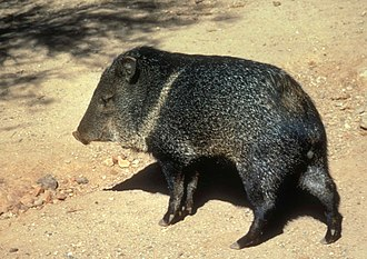 Saguaro National Park - Javelina in Saguaro National Park. The hoofed animal is native to the park.