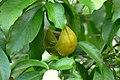 Jazmín - Huevos de perro (Stemmadenia litoralis) (15165539446).jpg