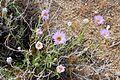 Joshua Tree National Park flowers - Xylorhiza tortifolia - 2.JPG