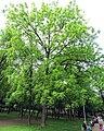 Juglans nigra habitus.jpg