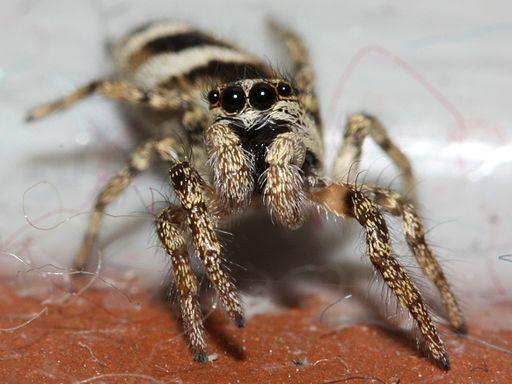 Jumping Zebra Spider (Salticus scenicus) (2816594447)