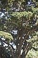 Junepurus sp.3096.jpg