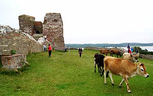 Kalø Castle - Cows and tourists