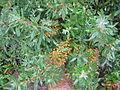 Kalmia angustifolia fruits.jpg