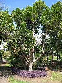 Kampong - Coccoloba diversifolia