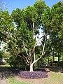 Kampong - Coccoloba diversifolia.jpg