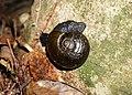 Kauri snail Paryphanta busbyi active at night.jpg