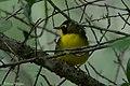 Kentucky Warbler (male) Fall Out Sabine Woods TX 2018-04-08 12-54-39 (26613902707).jpg