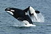 Orca - Photo Robert Pittman, no known copyright restrictions (public domain)