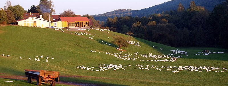 Gänse-Freilandhaltung beim Kirbachhof