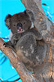 Koala - anstey hill recreation park.jpg