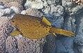 Kofferfisch, Ostracion cubicus, рыба-кузовок..DSCF0898WI.jpg