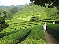 Korea-Boseong-Green.tea-06.jpg