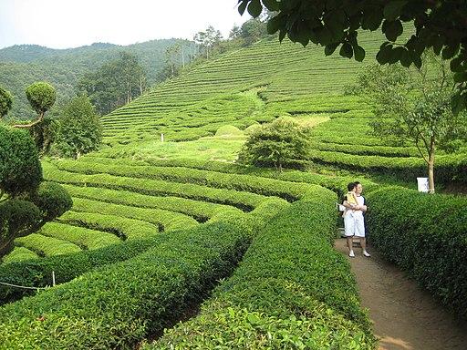 Korea-Boseong-Green.tea-06