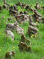 Kornik Arboretum cyprysnik blotny pneumatofory 2.jpg