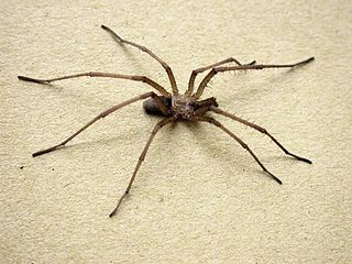 Crevice weaver Family of spiders
