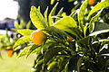 Kumquat Photograph.jpg