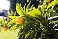 Kumquat Photograph.jpg