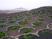 Vines growing in volcanic lapilli in the La Geria region of Lanzarote. The low, curved walls are traditionally used to protect the vines from the constant wind.