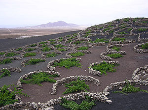 Lanzarote - Malvasia grape vines growing in topsoil covered in lapilli, in La Geria. The low, curved walls protect the vines from the constant, drying wind.