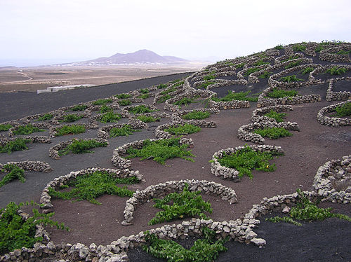 Malvasia grape vines growing in topsoil, covered in lapilli, La Geria, Lanzarote, Canary Islands. The low, curved walls protect the vines from the constant, drying wind. La Geria vines.jpg