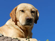 Labrador Retriever Adulto.JPG