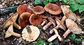 Lactarius corrugis Peck 250272.jpg