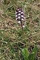 Lady Orchid - Orchis purpurea - panoramio (14).jpg