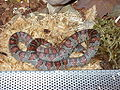 Lampropeltis mexicana mexicana W01.jpg