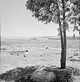 Landschap in de omgeving van Latrun, op de voorgrond een jonge boom en rotsblokk, Bestanddeelnr 255-3209.jpg